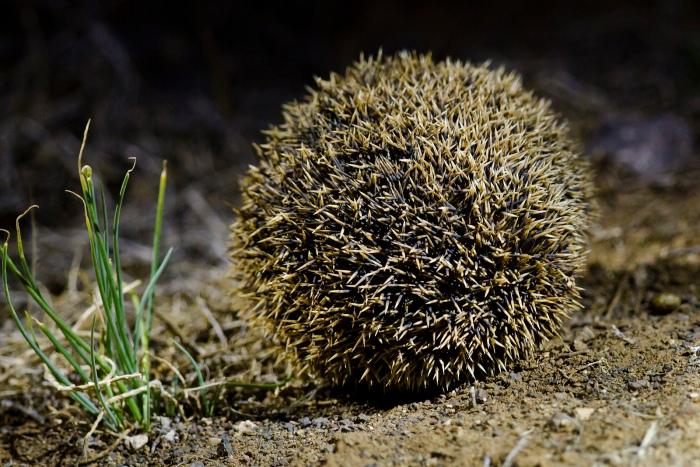 Hedgehog rolled up.jpg