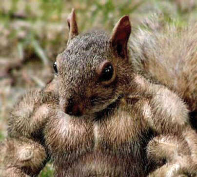 Buff Squirrel